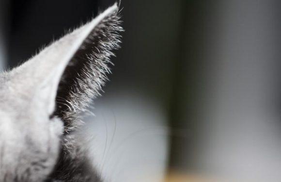 La gale des oreilles, une maladie à surveiller chez votre chat