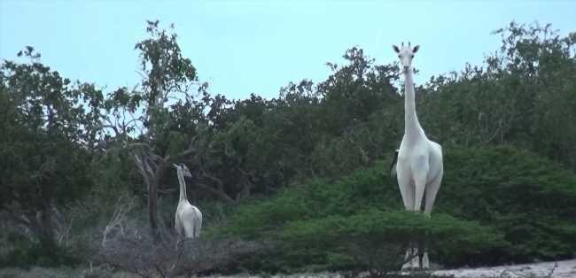 La dernière girafe blanche femelle du monde et son petit tués par des braconniers