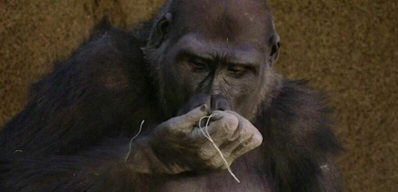 Zapping : Covid-19 : des gorilles testés positifs aux États-Unis