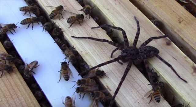 L'incroyable confrontation entre des abeilles et une araignée filmée par un apiculteur