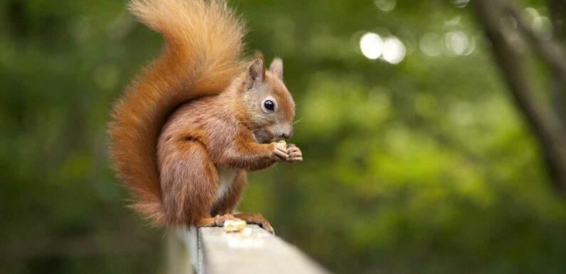 Des écureuils roux auraient développé une résistance à la variole