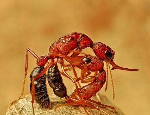 Ces fourmis indiennes sont capables de rétrécir leur cerveau pour jouer les reines