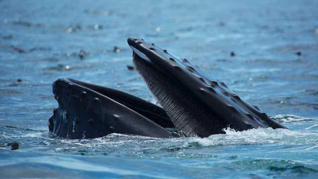 Avalé par une baleine, un pêcheur s'en sort sain et sauf